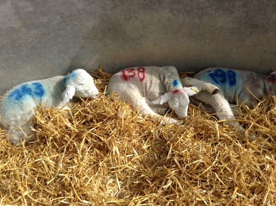 Young Lleyn lambs. These are slightly smaller than in previous years.