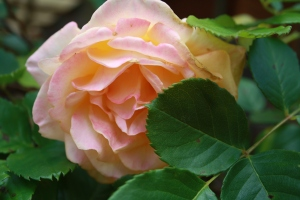 rose and leaves